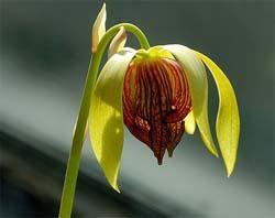 дарлингтония цветет
