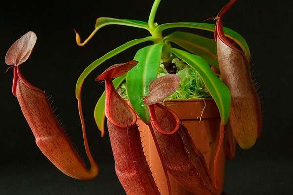 непентес сангвинея фото