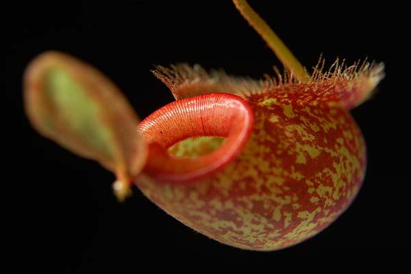 непентес хукериана