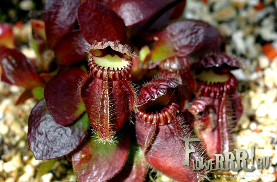 cephalotus follicularis_foto