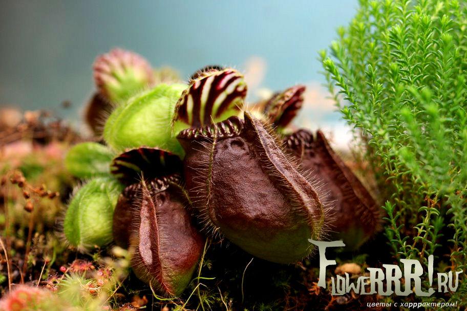 cephalotus-follicularis_foto