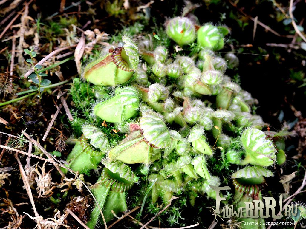 cephalotus follicularis_gde_priobresti