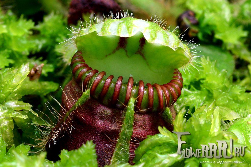 cephalotus follicularis_hishchnoe_rastenie