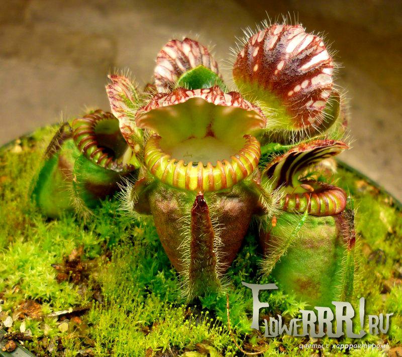cephalotus follicularis_hochu_kupit