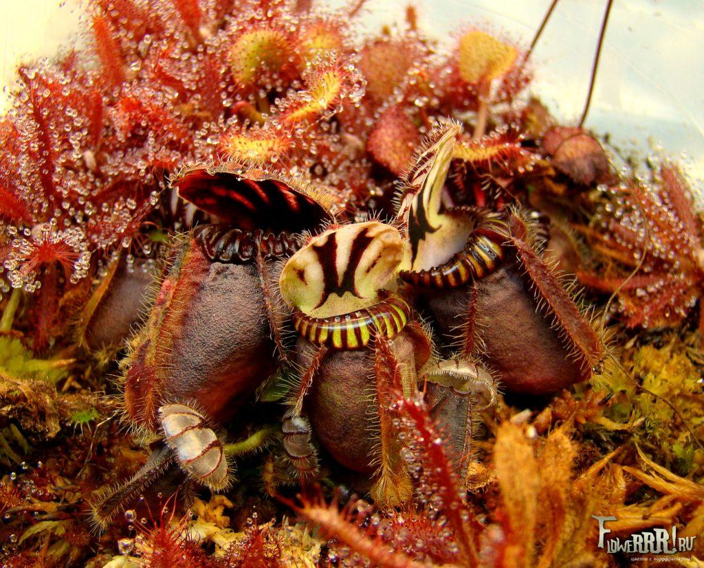 cephalotus follicularis_proishozhdenie