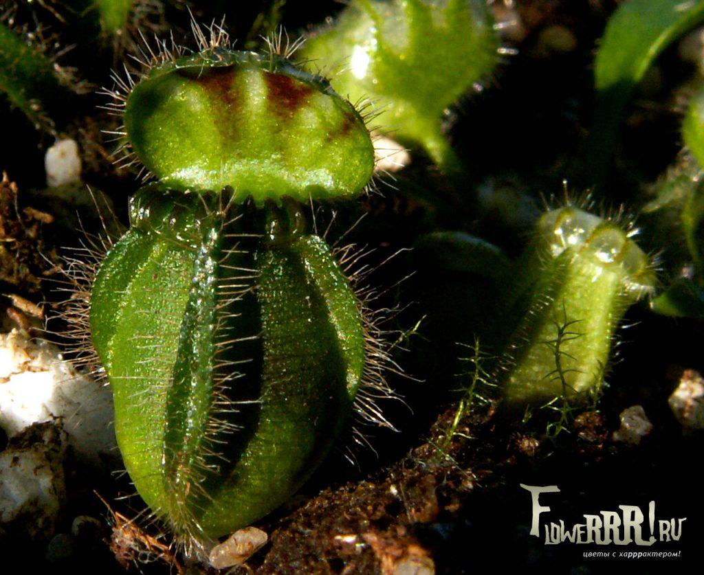 cephalotus follicularis_uhod