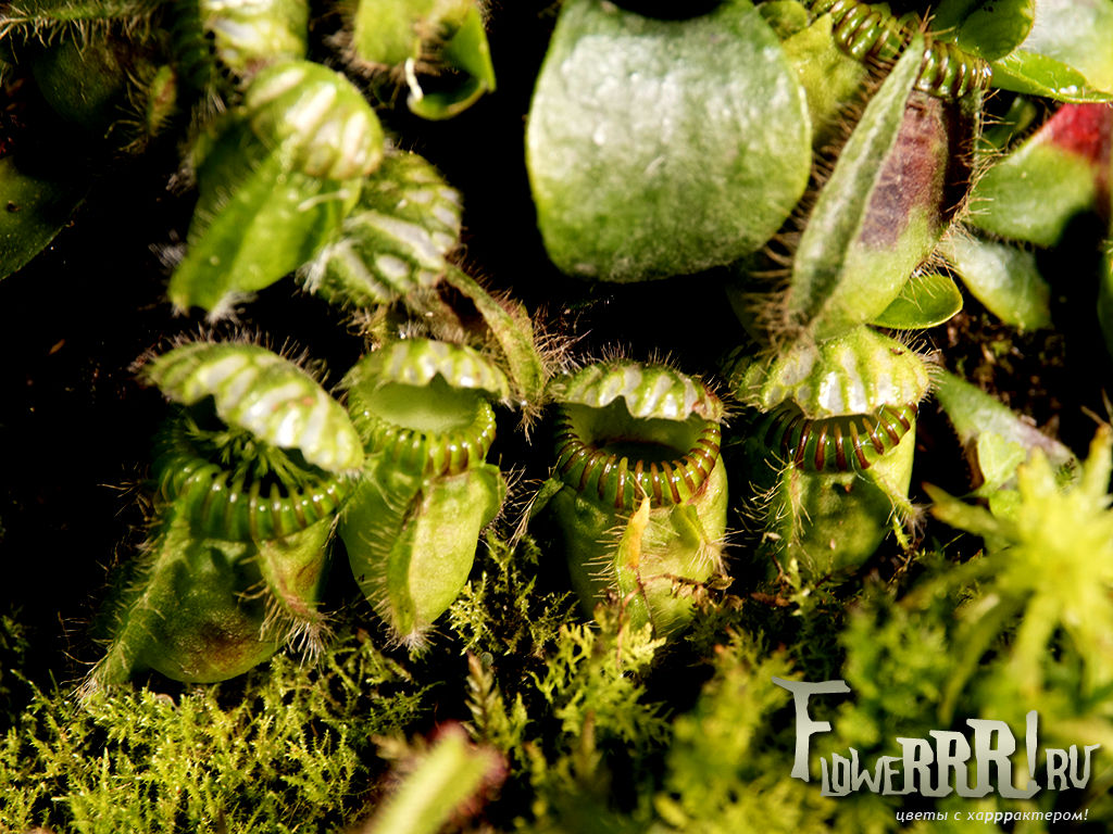 cephalotus follicularis_v_prirode