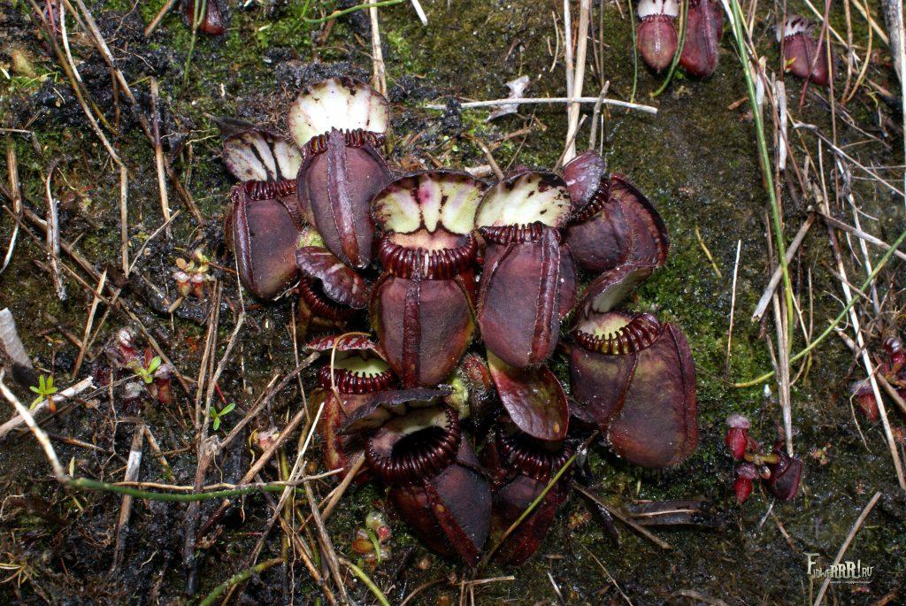 cephalotus follicularis_vikipediya