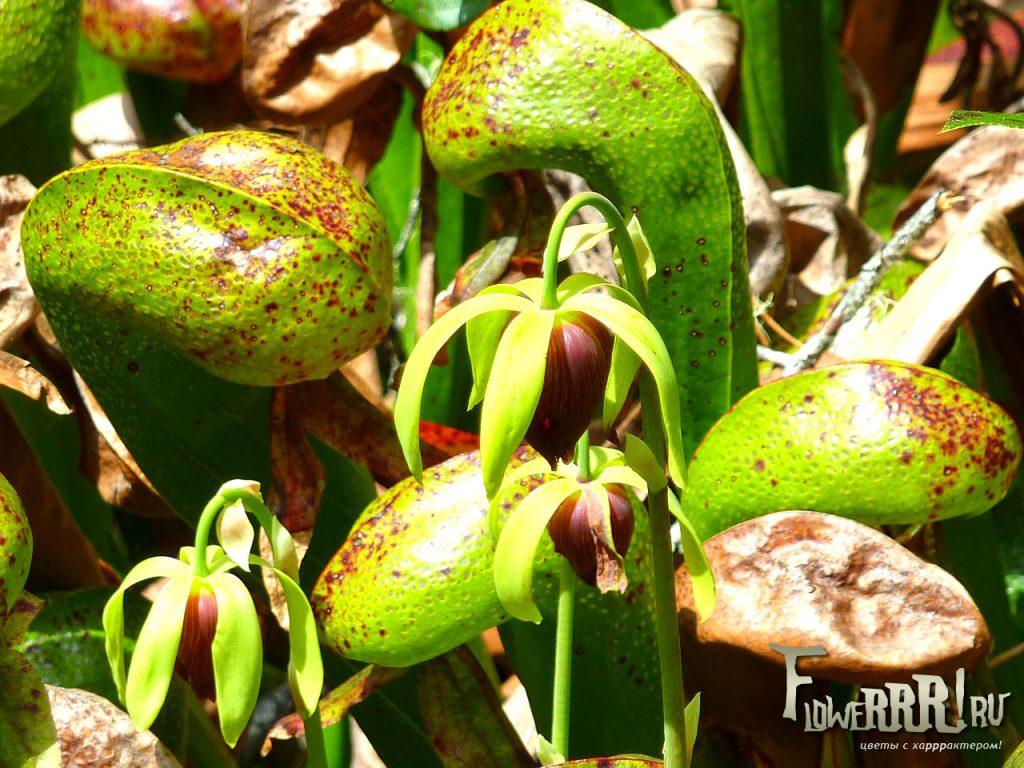 darlingtonia californica_cvetenie