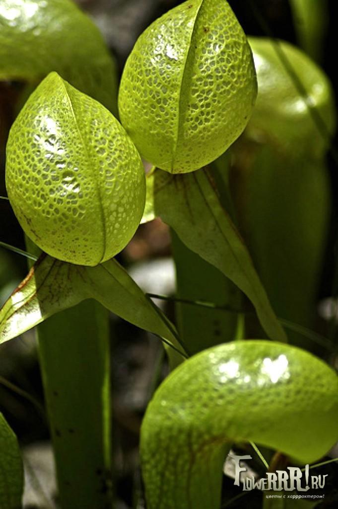 darlingtonia californica_kak_ohotitsya_v-prirode