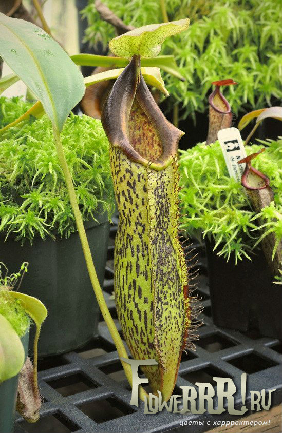 foto_nepenthes