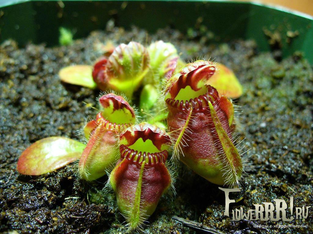rastenie_hishchnik_cephalotus follicularis