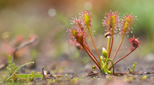 Хищные растения очень полезны и чувствительны