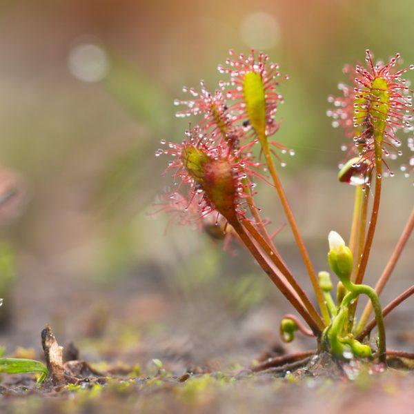 Коллекционер: Хищные растения очень полезны и чувствительны
