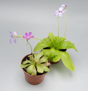 Растения Жирянки