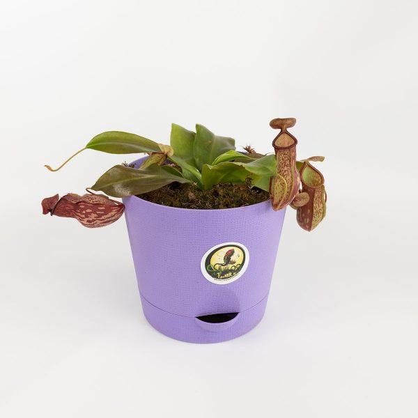 Непентес Гая в цветном горшке (горшок 20см)